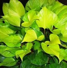 GLORY GEM Homalomena golden heart foliage indoor/shade plant in 140mm pot