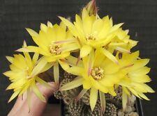 Ferienpreis: Echinopsis Chamaecereus Hybride Vergina Sun