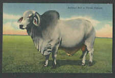 PPC #G192* GOOD POSTCARD BRAHMAN BULL IN FLORIDA MINT