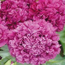 Peony Poppy- Purple- 100 seeds  -   50% off sale