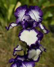 **STEPPING OUT** Tall Bearded Iris. Freshly Dug, Combined Shipping:  Aug/Sep