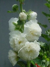 Alcea rosea Chaters White Icicle 10 fresh seeds