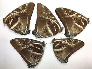 5 Morpho phanodemus in A1 condition