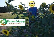 Sunflowers Lemon Queen 50 seeds (additional bee food near home)