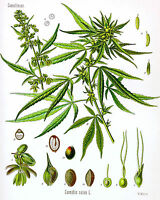 Cannabis Marijuana Painting Sativa Diagram Medicine Chart Real Canvas Art Print