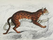 1834 Antique lithograph of a Leopard Cat. Big Cat. Wild Cat. 186 years old print