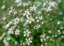 BABY'S BREATH WHITE - 1000 seeds - Gypsophila Elegans - wedding bouquet