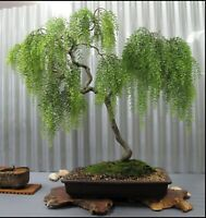 BONSAI CUTTING START! Weeping Willow Tree Cutting Thick Trunk Start Dwarf Bonsai