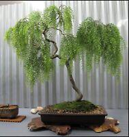 BONSAI Green Weeping Willow Tree Cutting Thick Trunk Start Dwarf Bonsai