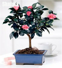 Chinese Green Tea Tree Seed Fresh Camellia Sinensis Garden Bonsai Flower 10pcs