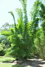 50 Graines Bambou Dendrocalamus Membranaceus