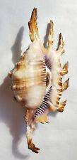 SHELL CONCHIGLIA LAMBIS SCORPIUS mm.140 W/O PHILIPPINES
