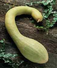 Vegetable - Courgette - Tromboncino Albenga - 20 Seeds