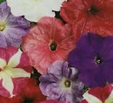 6 x Petunia BOBBY DAZZLER colourful flowers plants - 6cell seedling punnets