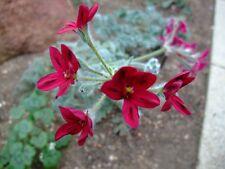 pelargonium schottii plant