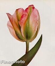 1980 Vintage 11x14 FLOWER Botanical Fine Art TULIP Photo Litho Plate IRVING PENN