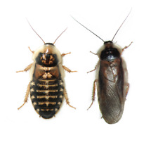 Adult Male & Female Dubia Roaches - Ships Same Day Free