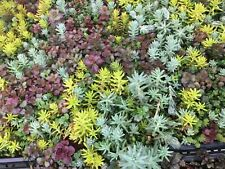 Assortment of Cold Hardy Stonecrop  Sedum 40 Cuttings-- Hardy up to 20 *F