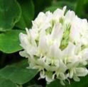 100+ White Clover Flower Seeds /  Long Lasting Perennial