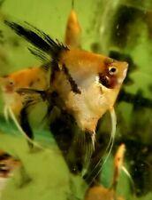 Koi Angelfish - Half dollar size