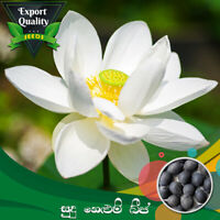 CeylonExpress - Export Quality White Lotus Seed 10 PCs For Potted Planting