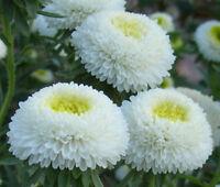 ASTER POMPON WHITE Callistephus Chinensis - 100 Bulk Seeds