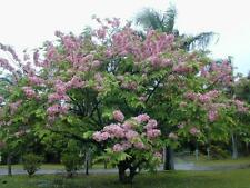 Tree Seed - CASSIA NODOSA - Pink Shower / Rainbow Shower Tree - Pack of 10 Seeds