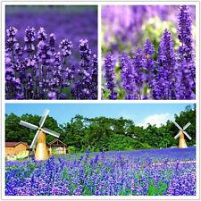 ENGLISH LAVENDER Seeds Herb Flower Seeds Romantic Provence FRAGRANT Yard Hot HG
