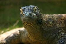Lámina-Komodo Dragon (Foto Poster Animal Dinosaurio Reptil Arte)