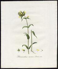 Antique Print-RHINANTHUS MINOR-YELLOW RATTLE-433-Flora Batava-Sepp-1800