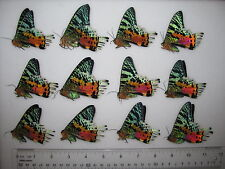 12 Sunset moths! unmounted butterflies ARTWORK A1 perfect quality beautiful!