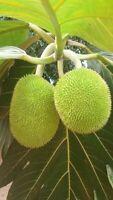 Breadnut Plant ( panapen de pepitas) Artocarpus camansi live tree fruit 3'' to 9