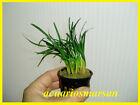 """PLANTA DE ACUARIO, gambario,paludario. Ophiopogon Japonicus """"Kyoto Dwarf"""""""