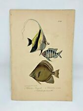 Fish Plate 96 Lacepede 1832 Hand Colored Natural History