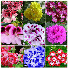 50Pcs Mixed Doubles Geranium Seeds Pelargonium hortorum Balcony Garden Plant New
