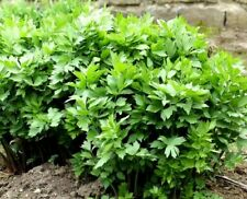 Herb Lovage 600 Seeds home growing herbs all year Levisticum Officinale