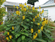 Popcorn Cassia Seed Scented Shrub Drought & Frost Tolerant Cassia didimobotrya