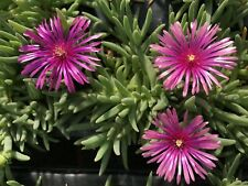 4x Delosperma Winterharte Mittagsblumen Sorte Crazy Cooperi 173 PINK EisblumenXL