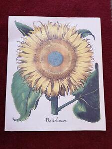 Tavola botanica dell'Hortus Eystettensis ABOCA stampa quadro FLOS SOLIS MAIOR