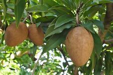 Sapodilla (Makok) Tropical Fruit Trees