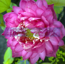 10 Rose Lotus Seeds Nelumbo Nucifera Fish Pond Aquarium Flower Water Plant New