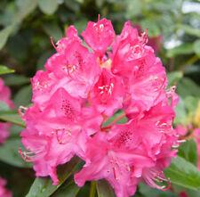 Rhododendron /'Albert Schweitzer/' In 9cm Pot bell-shaped Rose Pink Flowers