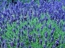 10 x Lavender Hidcote herbaceous READY TO PLANT OUT a