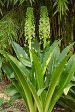 Eucomis pole-evansii Riesen Schopflilie XXL Ananaslilie Blüte über 1m hoch RAR