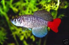 The Tropical Fish Killifish Nothobranchius Patrizii 30 Eggs Easy Hatch