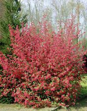 Ribes sanguineum | Red Flowering Currant| 10 Seeds