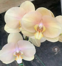 Phalaenopsis *Gorgeous Color*Large Bs* Orchid Plant. Heat Pack Included.