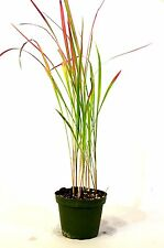 Japanese Blood Grass - 4'' Pot Rare Easy to Grow Gift Decor Holiday Ornamental