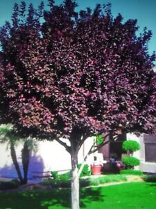 Purple Leaf Sand Cherry Tree - Flowering Rooted -18-24 In Live Tree!