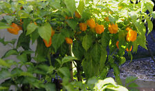 HOT pepper orange SCOTCH BONNET ORANGE peperoncino 10 semi-liveseeds
